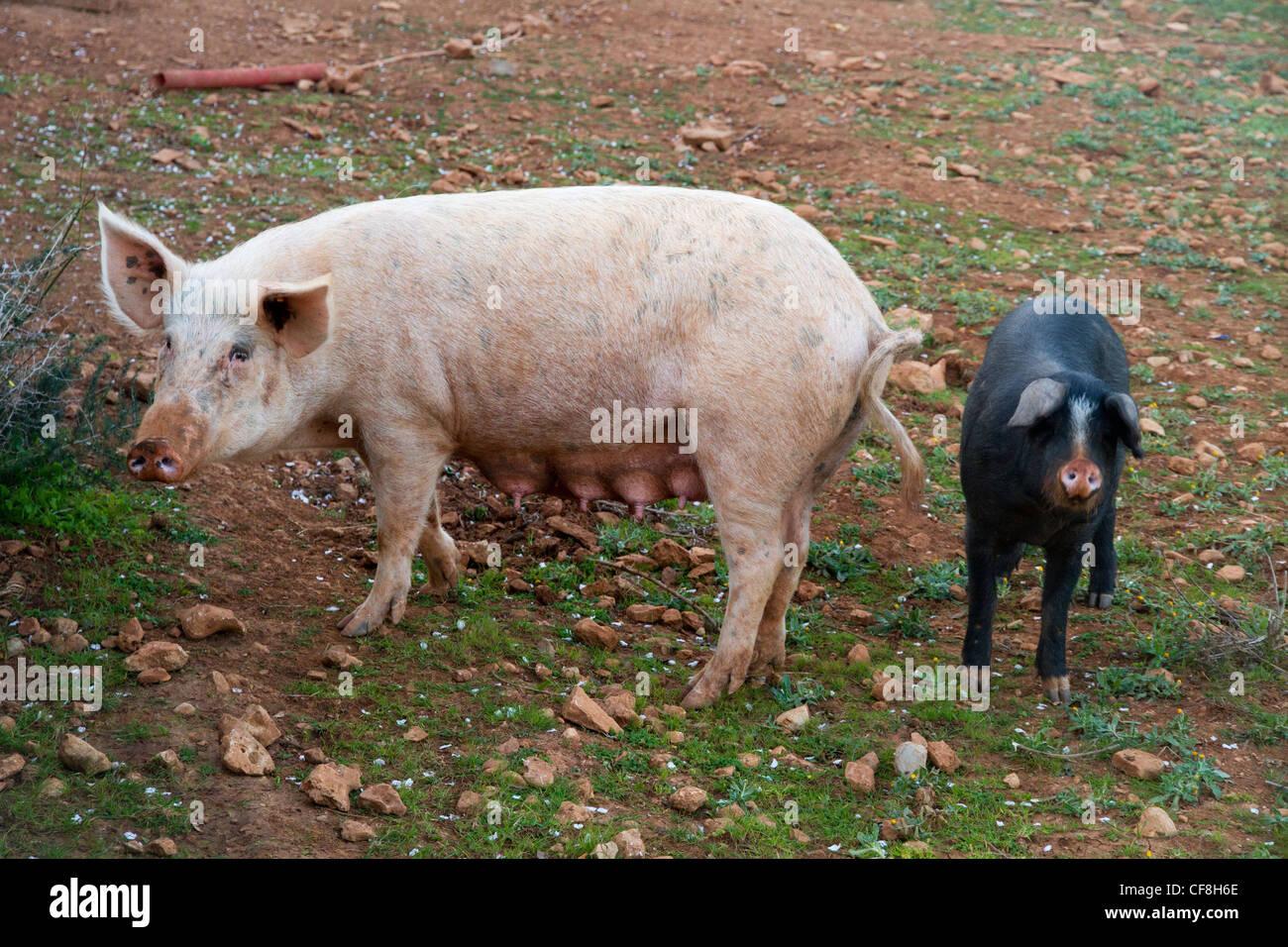 pig and piglets hiberian Majorcan Mallorca Spain - Stock Image