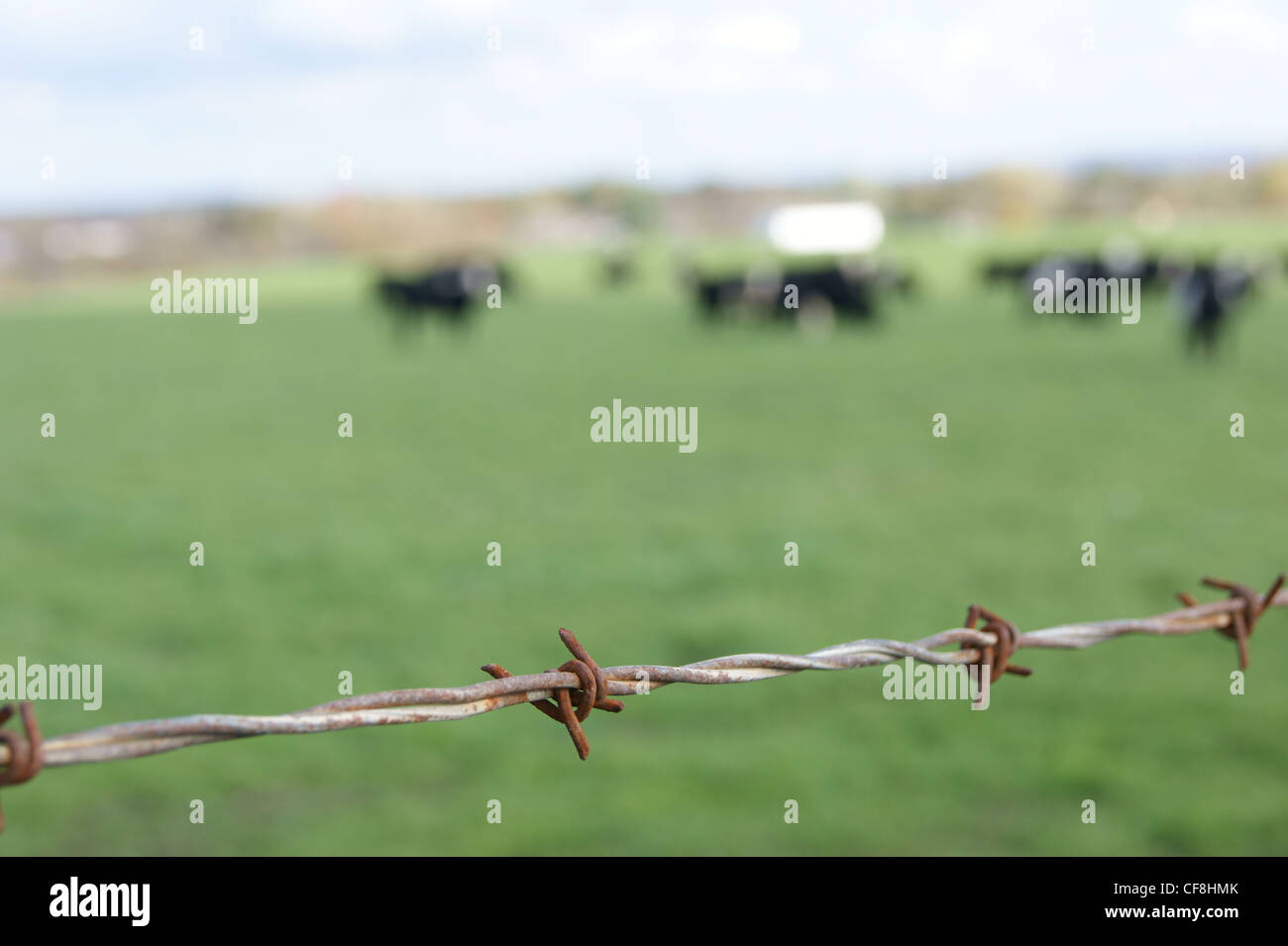 Selective focus view of rusty barbed wire with cows in the background. Stock Photo