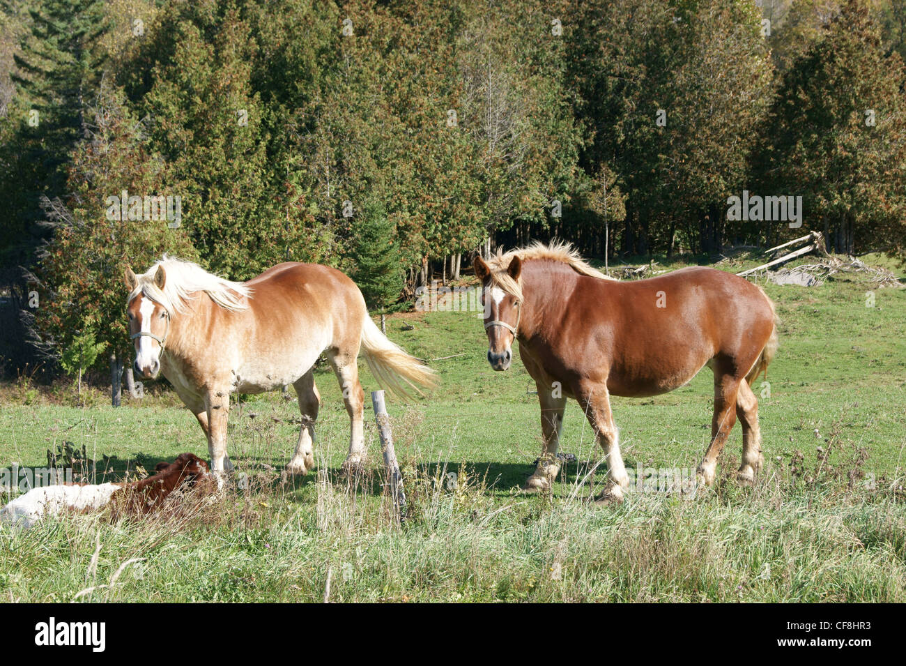 Draft horses, possibly Belgian in Dixmont, Maine. - Stock Image