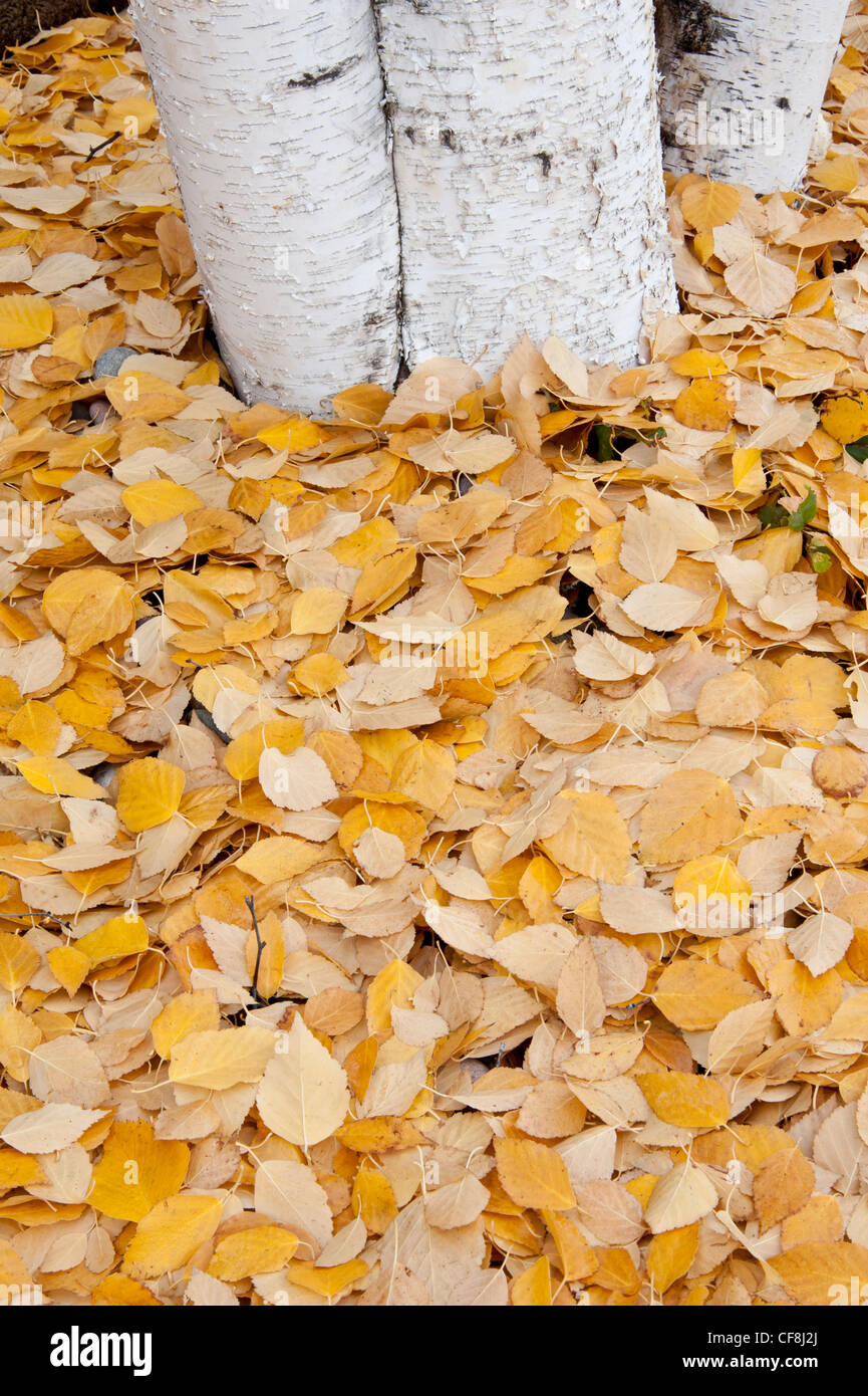 Birch leaves on the ground in Missoula, Montana - Stock Image