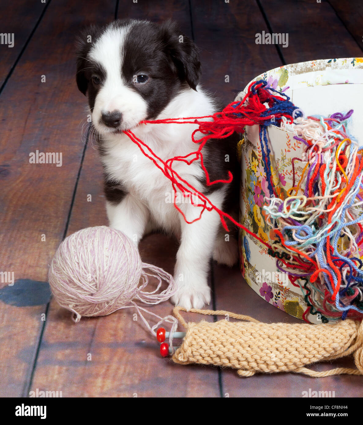 Little puppy dog making a mess of balls of wool - Stock Image