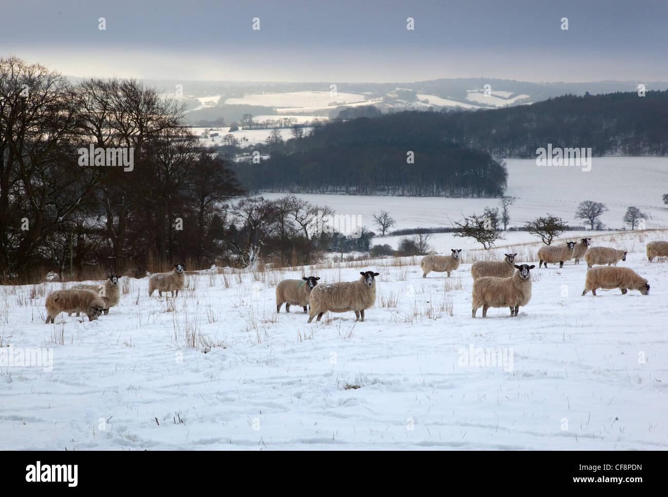 Sheep in Snow Ivinghoe Chiltern Hills  Bucks Stock Photo