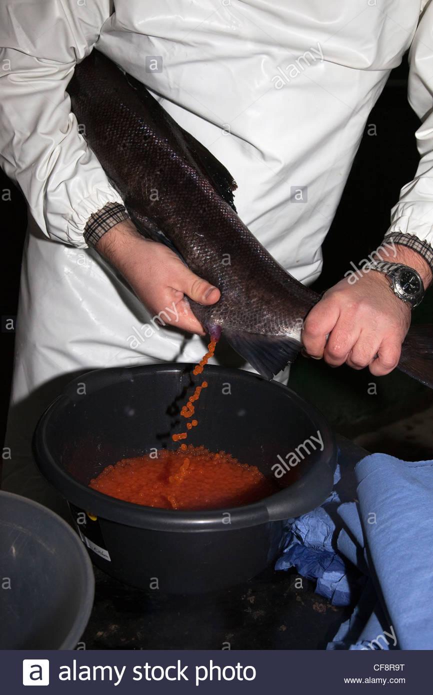 Atlantic salmon hen being stripped for eggs at Kielder Salmon hatchery, UK - Stock Image