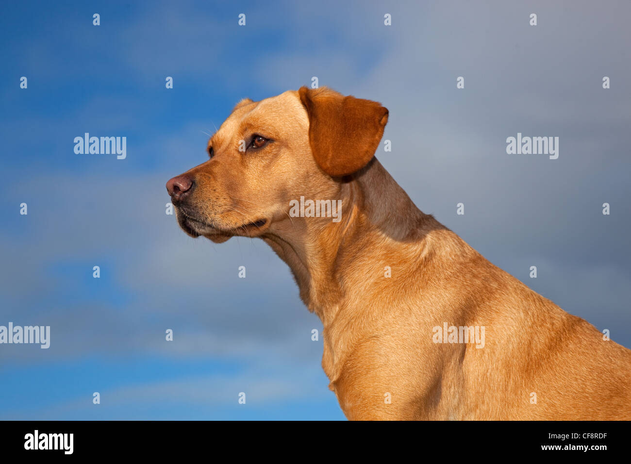 Yellow Labrador portrait - Stock Image