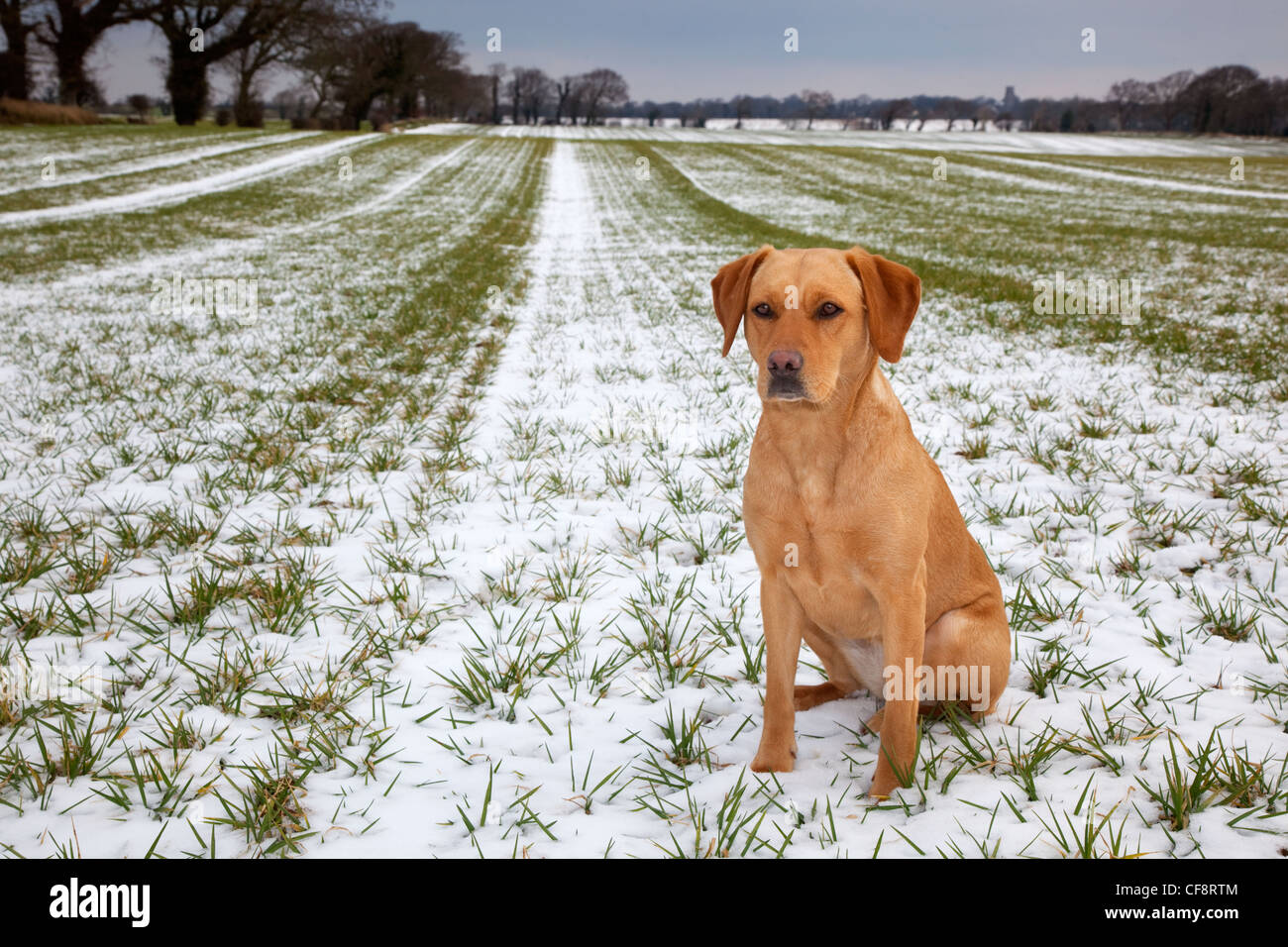 Yellow Labrador in winter countryside - Stock Image