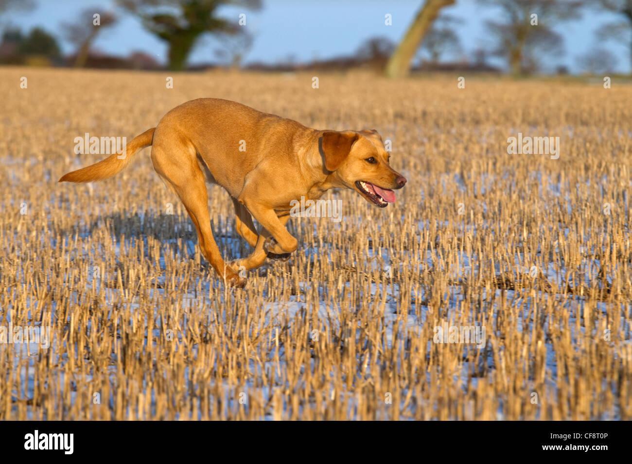 Yellow Labrador running in snow - Stock Image