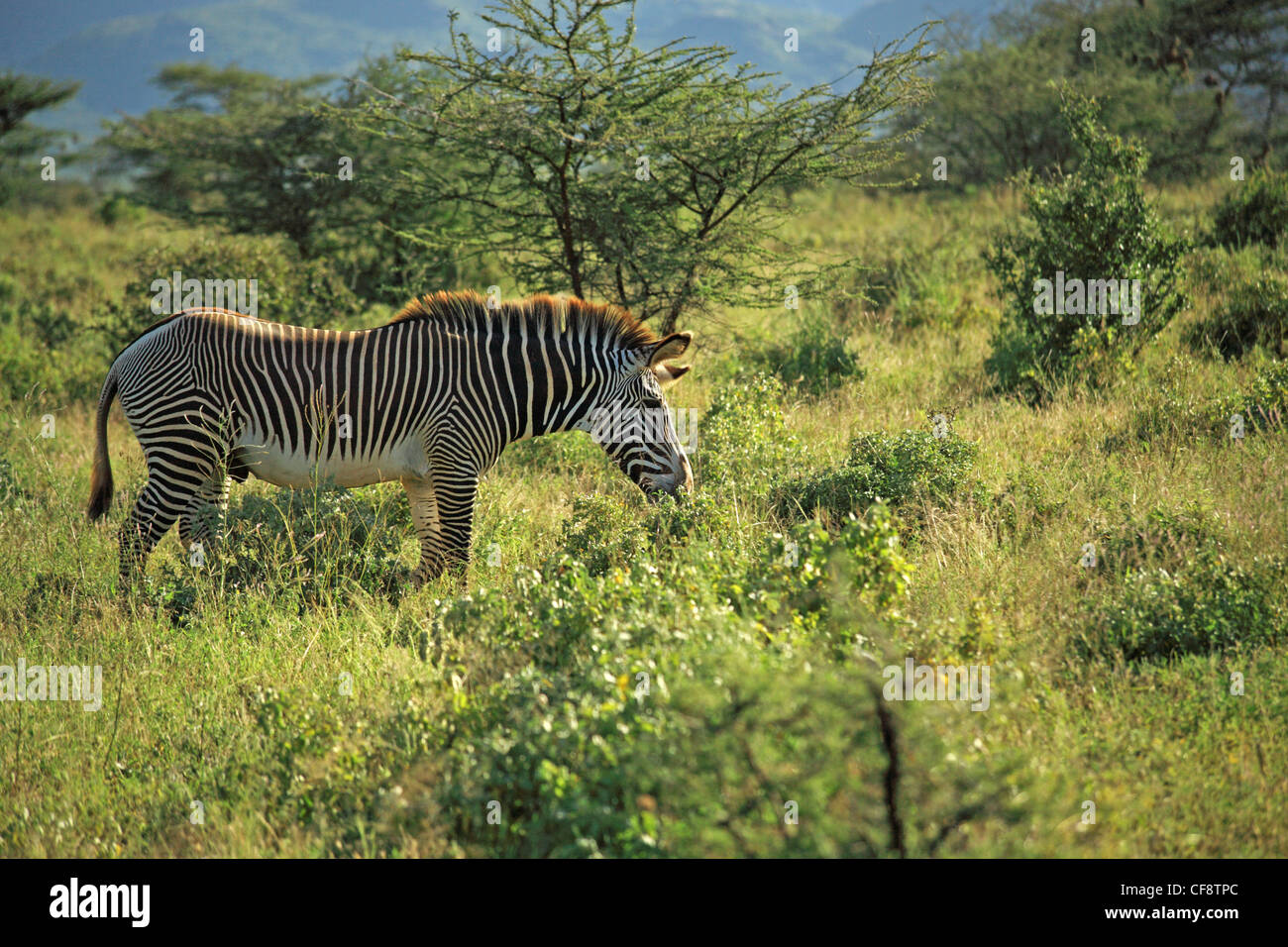The African Zebra is also known as Grevy's Zebra or the Imperial Zebra. They roam the grasslands of the Rift Valley. Stock Photo