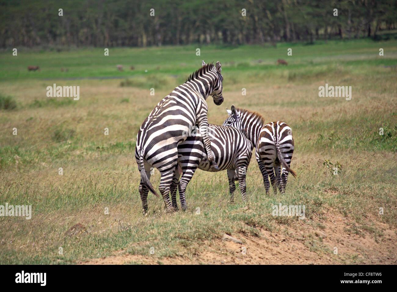 Zebras mating - photo#54