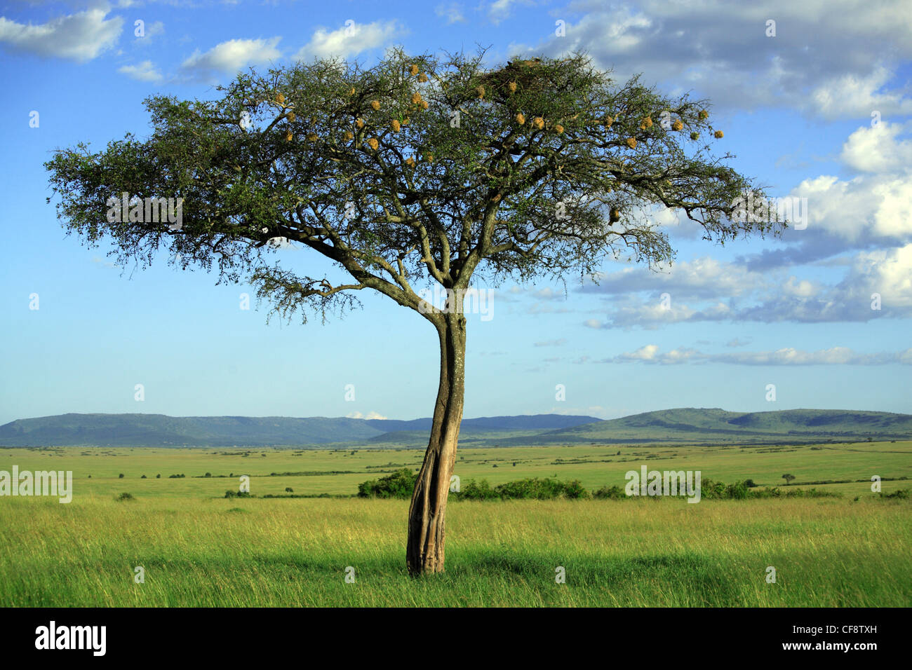 Singular tree in the Masai Mara National Reserve. - Stock Image