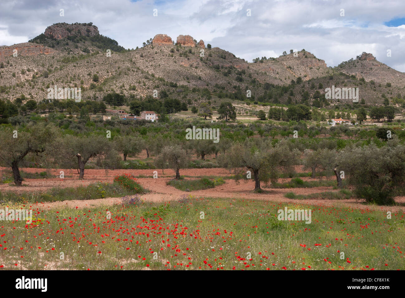 Olive trees and poppies growing in the Sierra de Seguras. - Stock Image