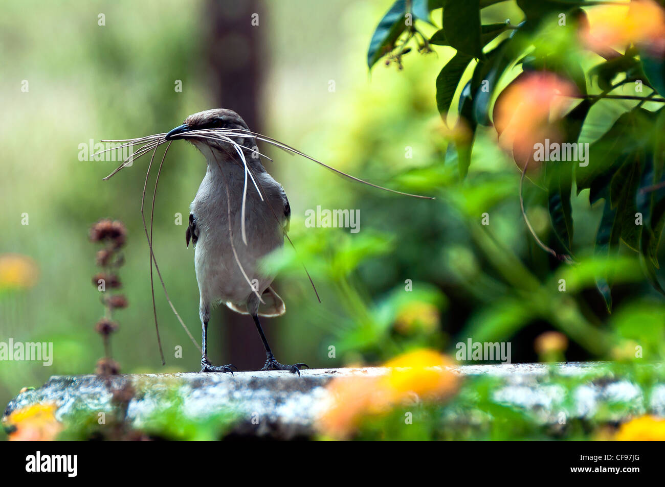 Mockingbirds are a group of New World passerine birds from the Mimidae family. - Stock Image