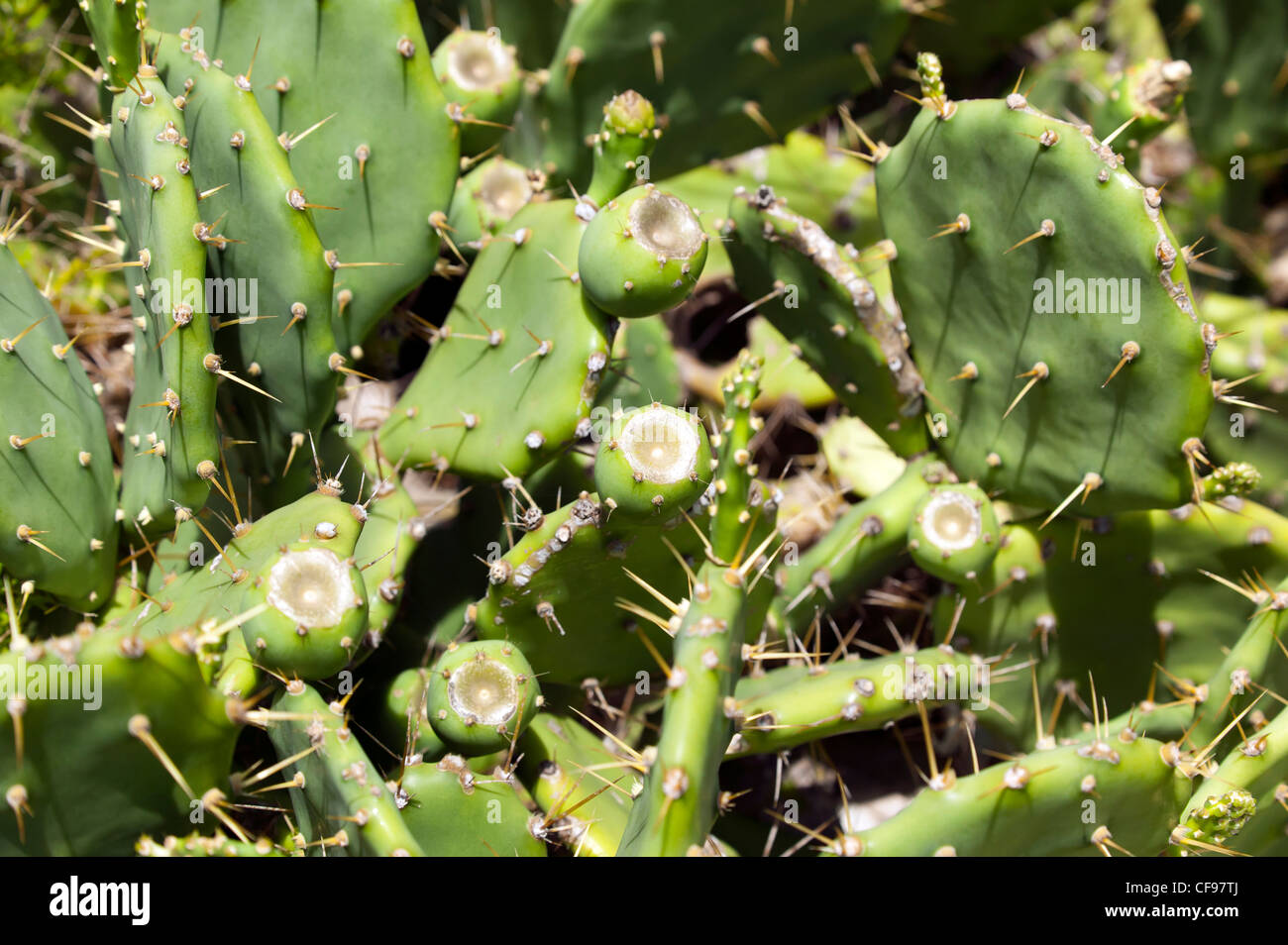 Close-up of a Prickly Pear plant with a (Opuntia robusta) Stock Photo