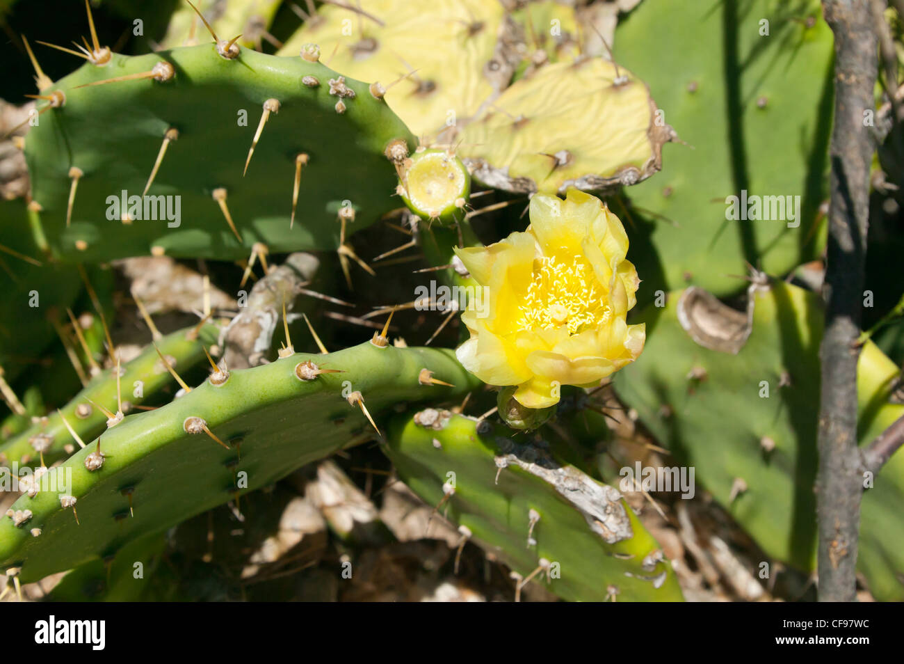 Close-up of a Prickly Pear plant with a (Opuntia robusta) flower. Stock Photo
