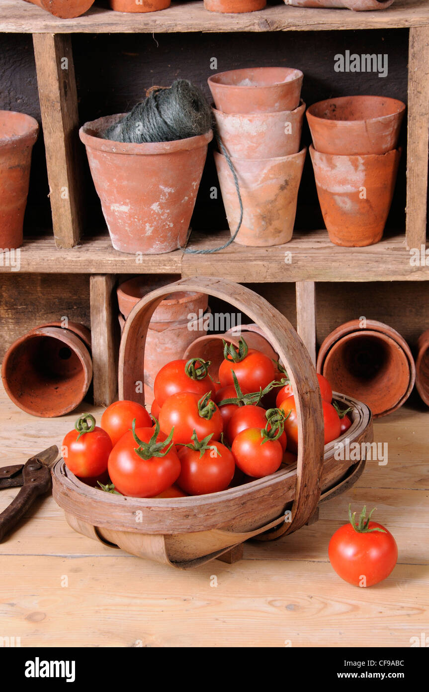 Freshly picked home grown tomatoes in trug in rustic potting shed setting. - Stock Image