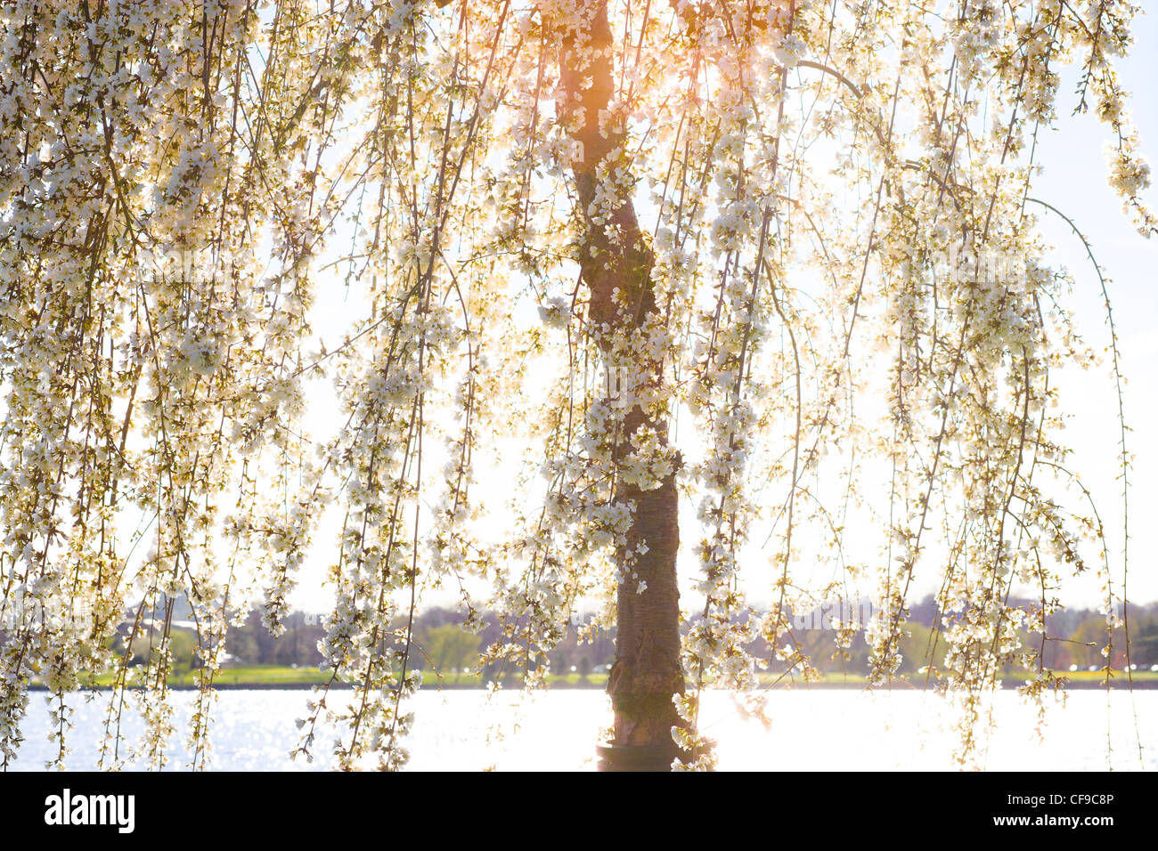 Potomac River Washington DC. Sunlight shining through the branches of a Weeping Cherry blossom tree in full peak - Stock Image