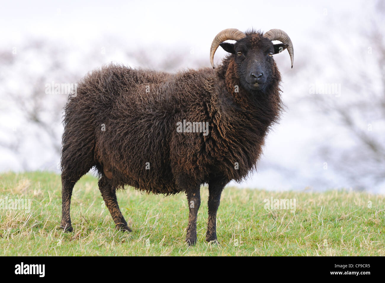 The Hebridean Black sheep are no longer considered rare and are at home on rough grazing in Scotland and the UK. - Stock Image
