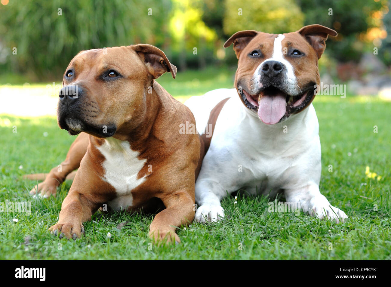 Two American Staffordshire terriers lying on the grass. - Stock Image