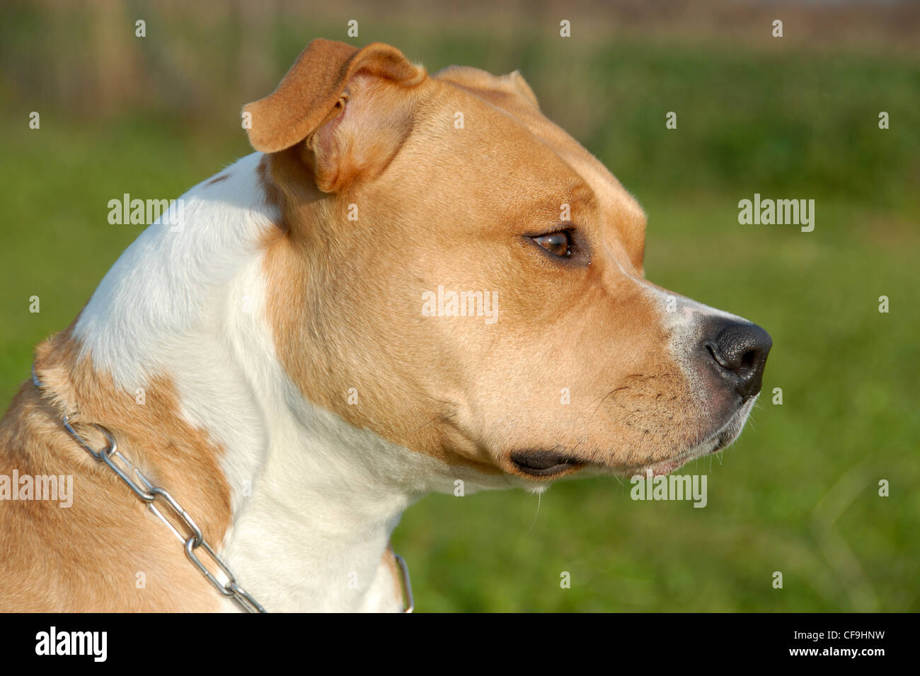 head of purebred american staffordshire terrier with collar - Stock Image