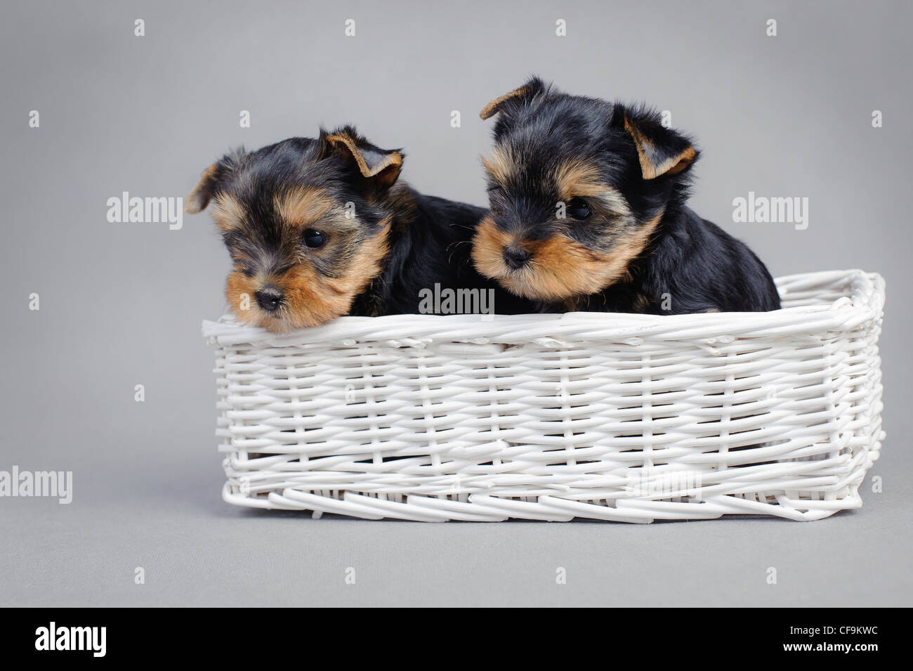yorkie puppies images.html