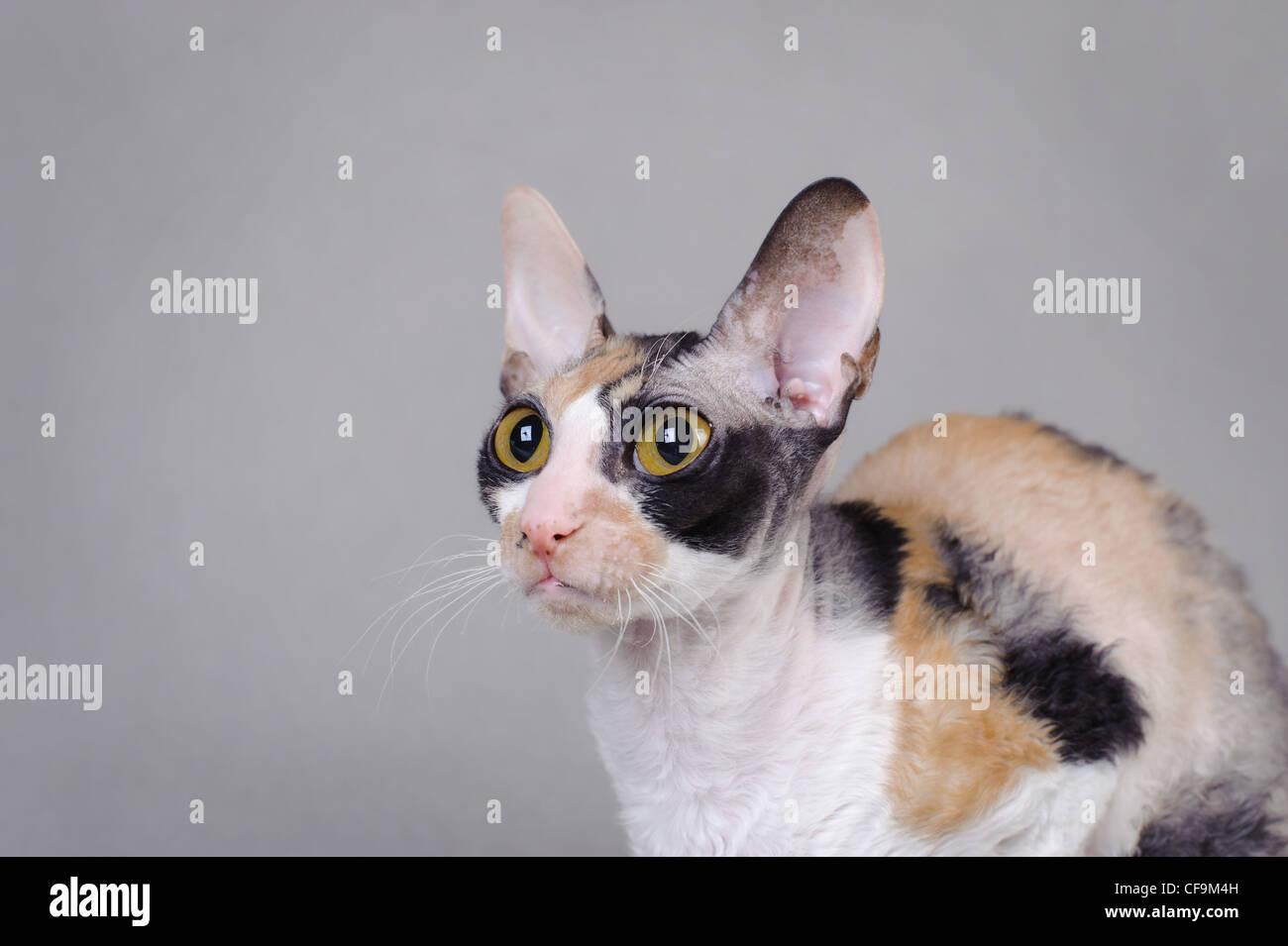 Cornish Rex cat - Stock Image