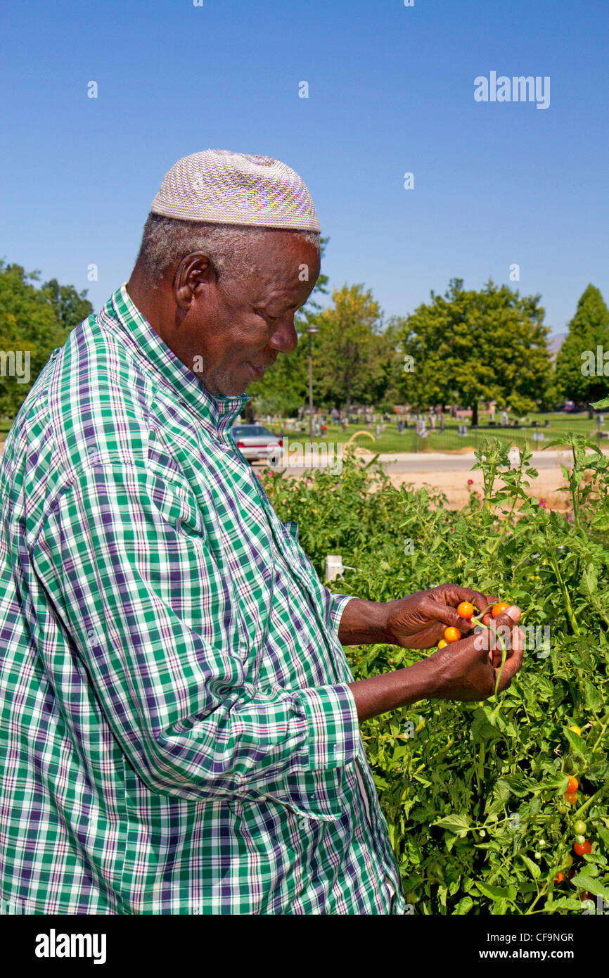 Somali refugee working at a community garden in Boise, Idaho, USA. - Stock Image
