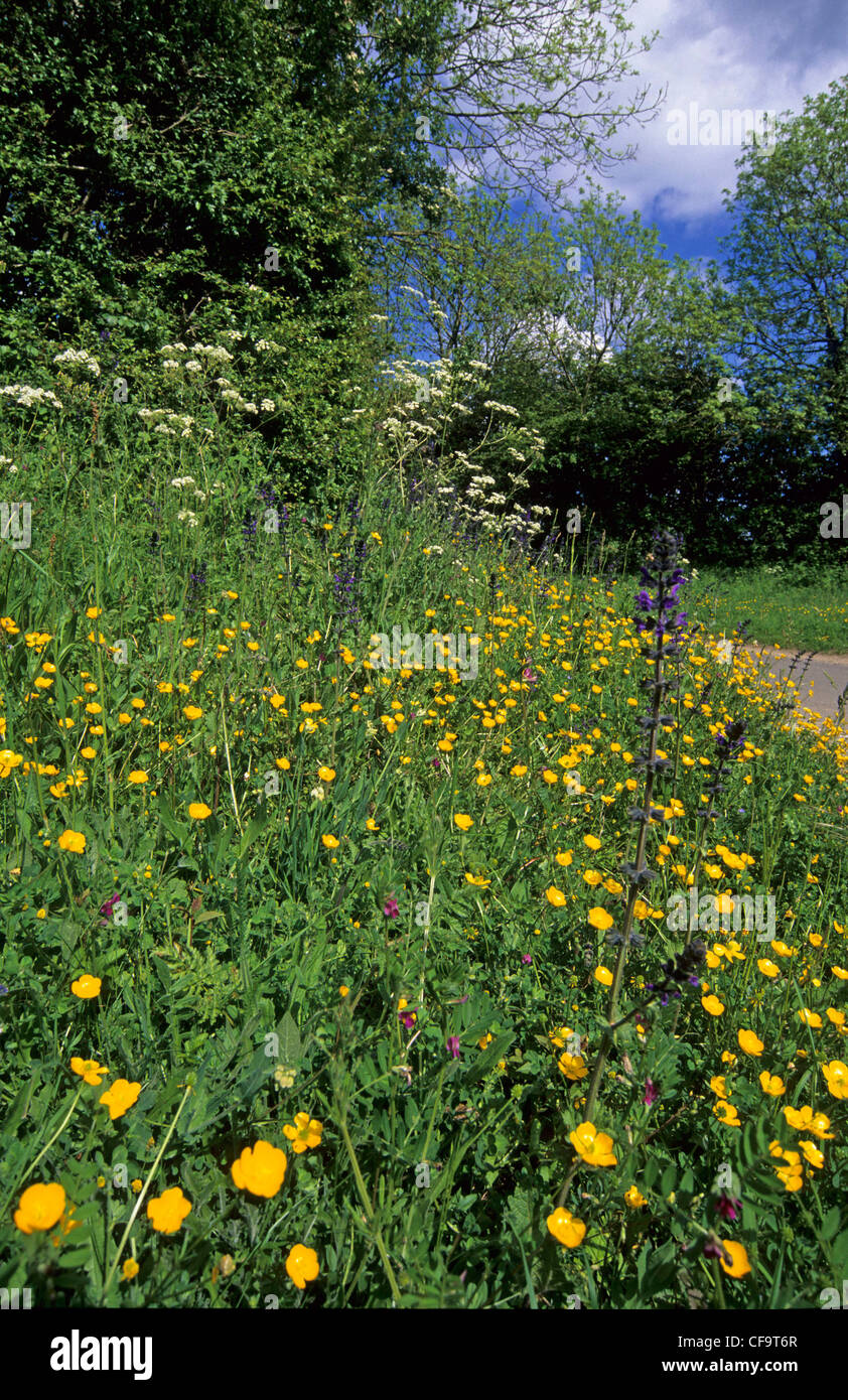 Roadside verge with wildflowers in early summer, Norfolk, Uk - Stock Image