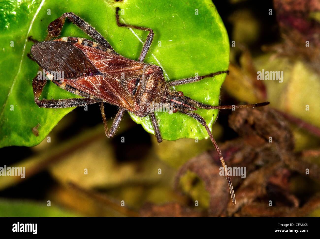 Western Conifer Seed Bug. Leptoglossus occidentalis. - Stock Image