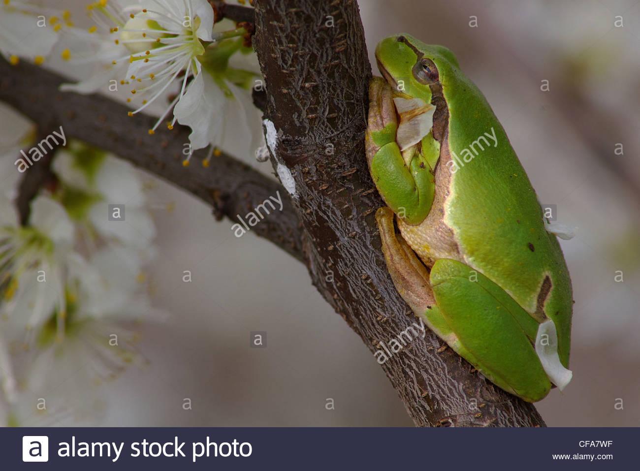 Austria, Burgenland, amphibian, Hylianea, European tree frog, tree frog, Hyla arborea, on shrub Stock Photo