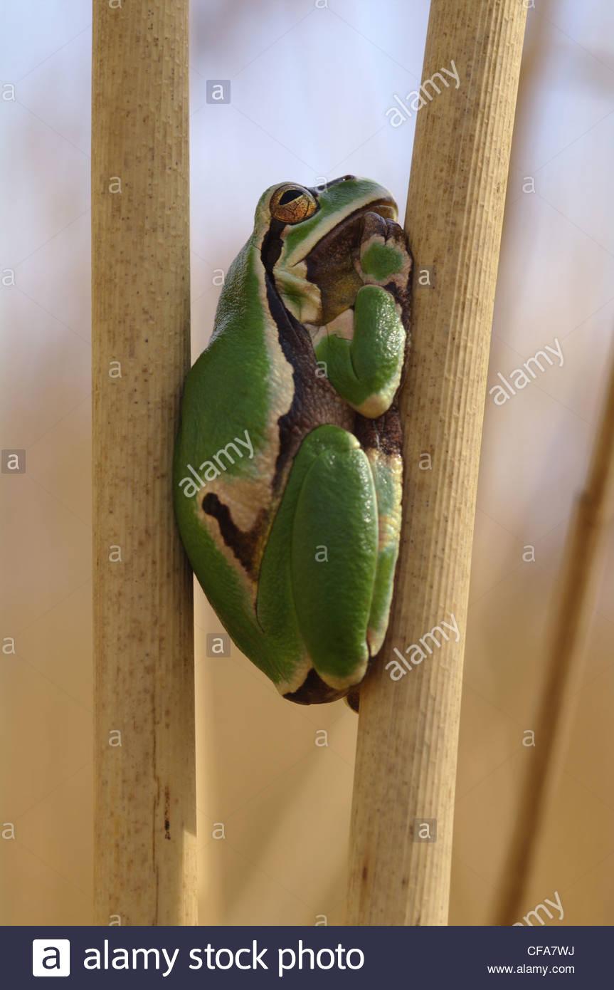 Austria, Burgenland, amphibian, Hylianea, European tree frog, tree frog, Hyla arborea, on reed Stock Photo