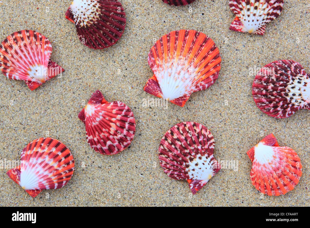 Great Britain, coast, sea, marine animal, mussels, mollusc, nature, North Sea, Pecten pallium, sand, sand beach, - Stock Image