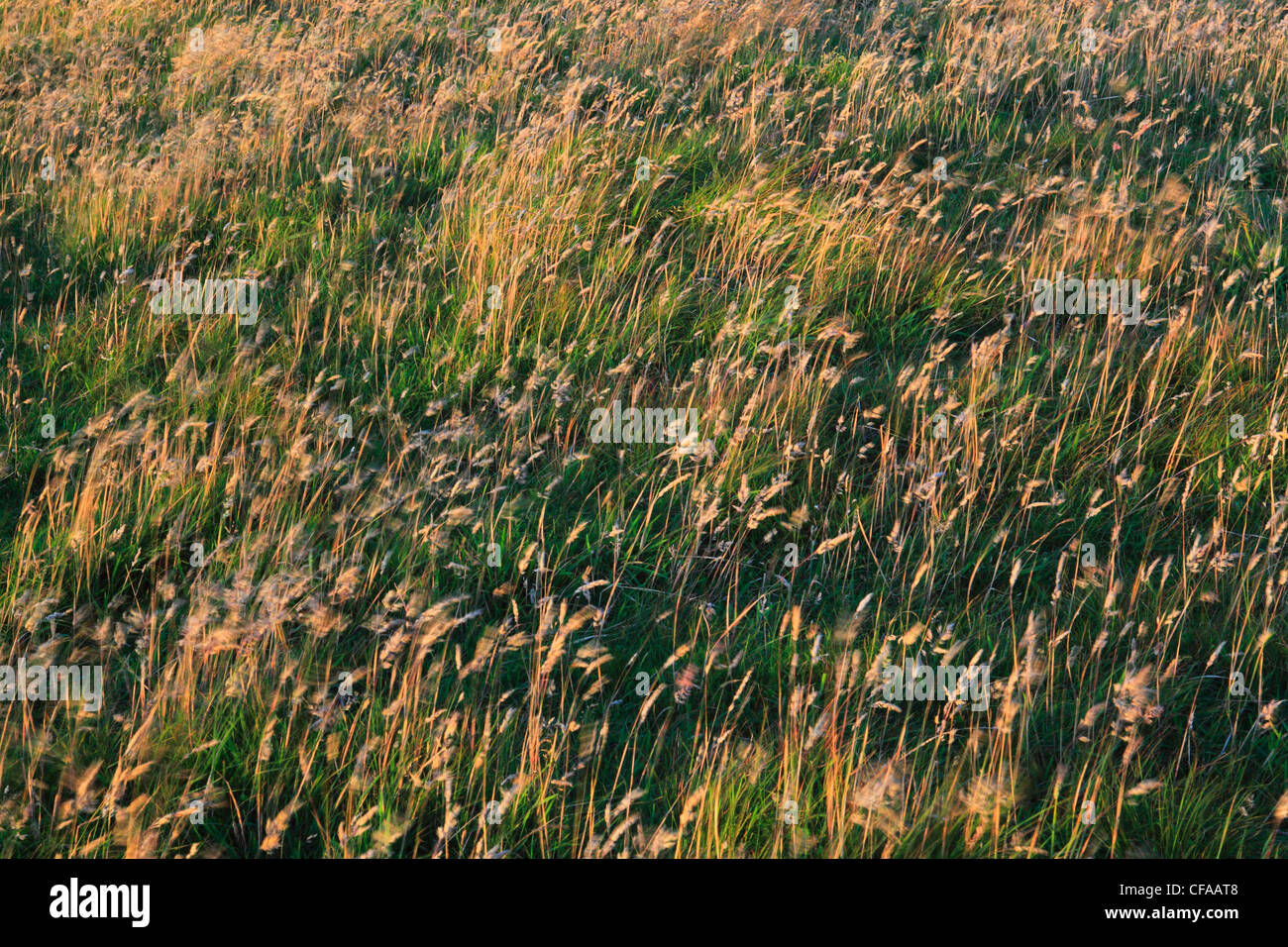 Detail, grass, surging, high-level moor, Scotland, marsh, marsh grass, brown, wind - Stock Image