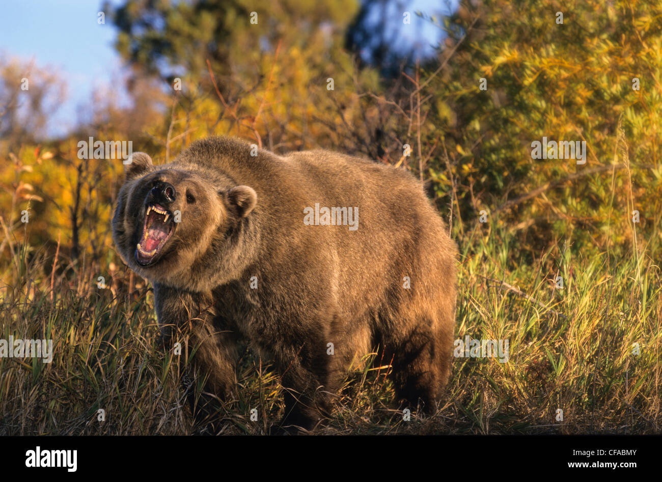 Grizzly Bear (Ursus arctos horribilis) roars in a clearing, Montana, USA. - Stock Image