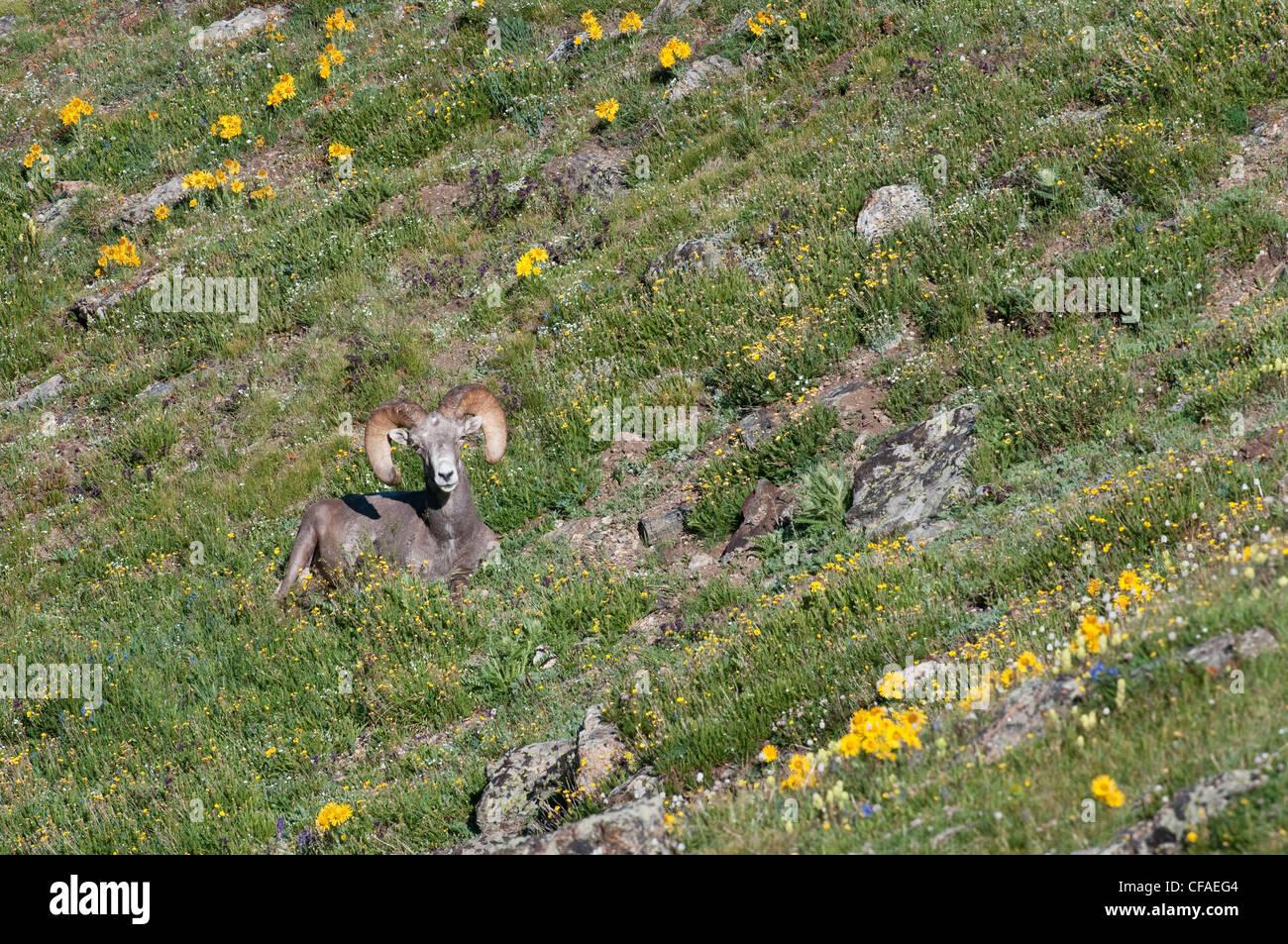 Bighorn sheep (Ovis canadensis), ram, among alpine wildflowers, Rocky Mountain National Park, Colorado. - Stock Image