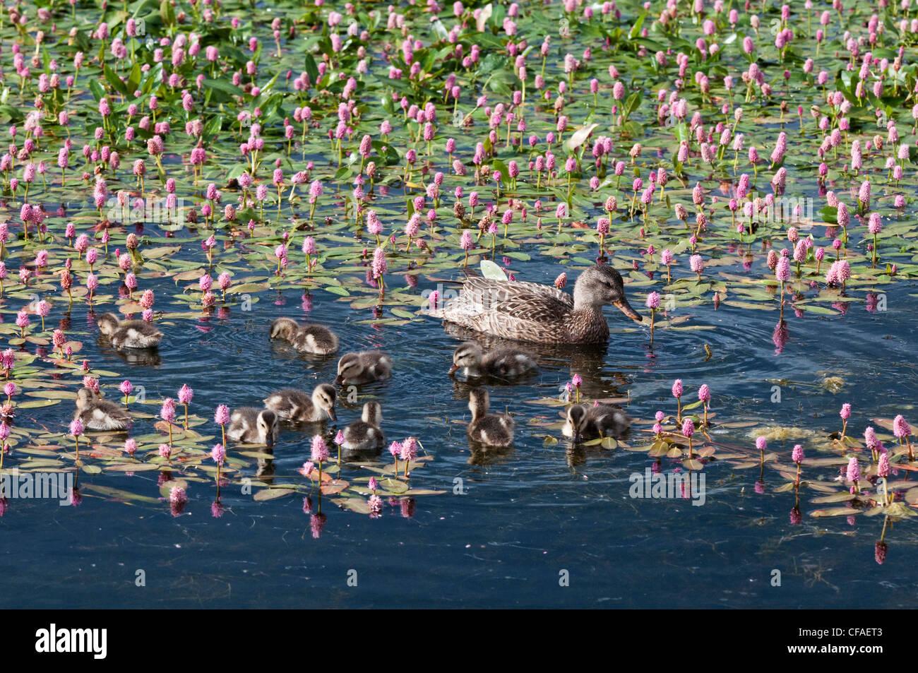 Gadwall (Anas strepera), female and ducklings among water smartweed (Polygonum amphibium), near Walden, Colorado. - Stock Image