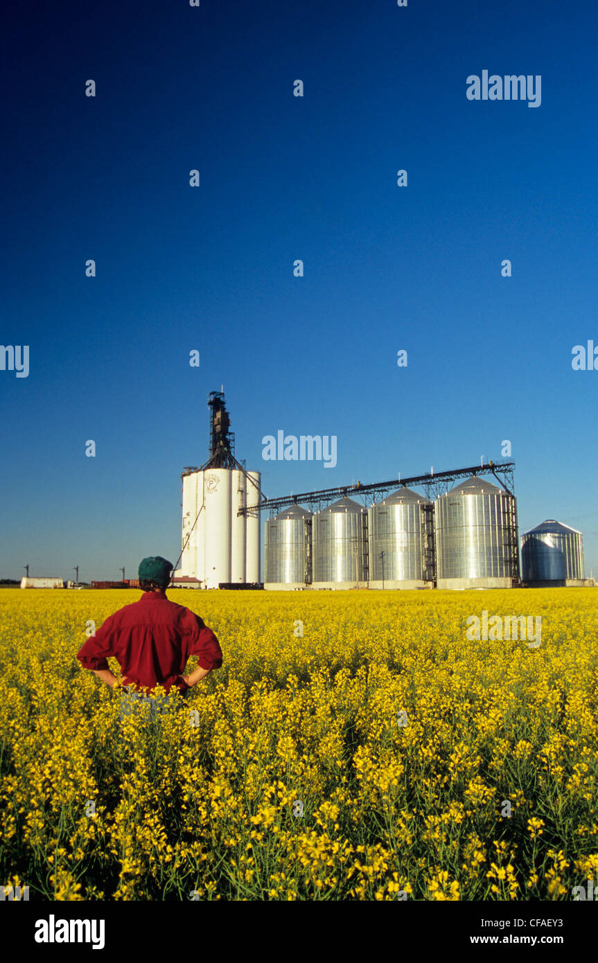 Farmer in bloom stage canola with inland grain terminal in background, Morris, Manitoba, Canada. Stock Photo