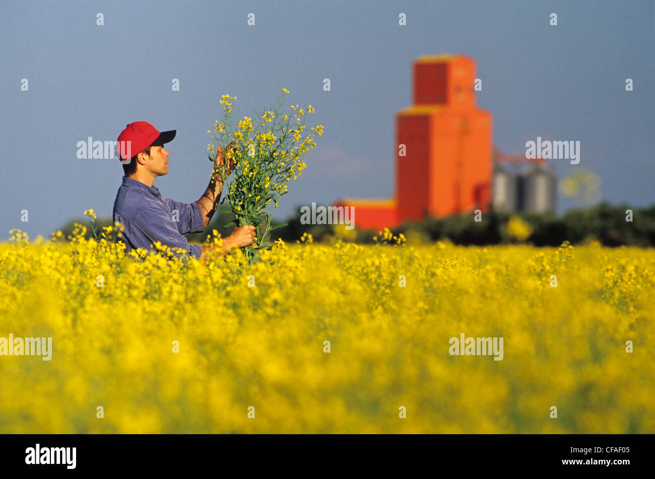 A farmer examines his bloom stage canola with grin storage facility in background, Carey, Manitoba, Canada. - Stock Image