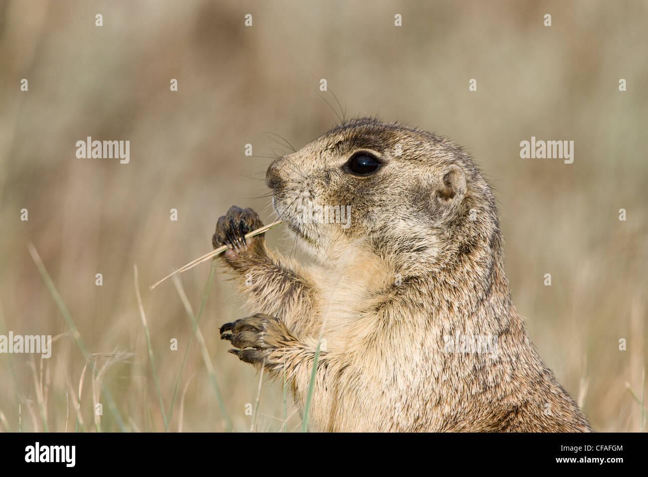 White-tailed prairie dog (Cynomys leucurus), eating, Arapaho National Wildlife Refuge, Colorado. - Stock Image