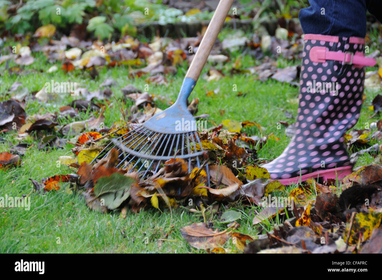 Raking leaves off lawn - Stock Image