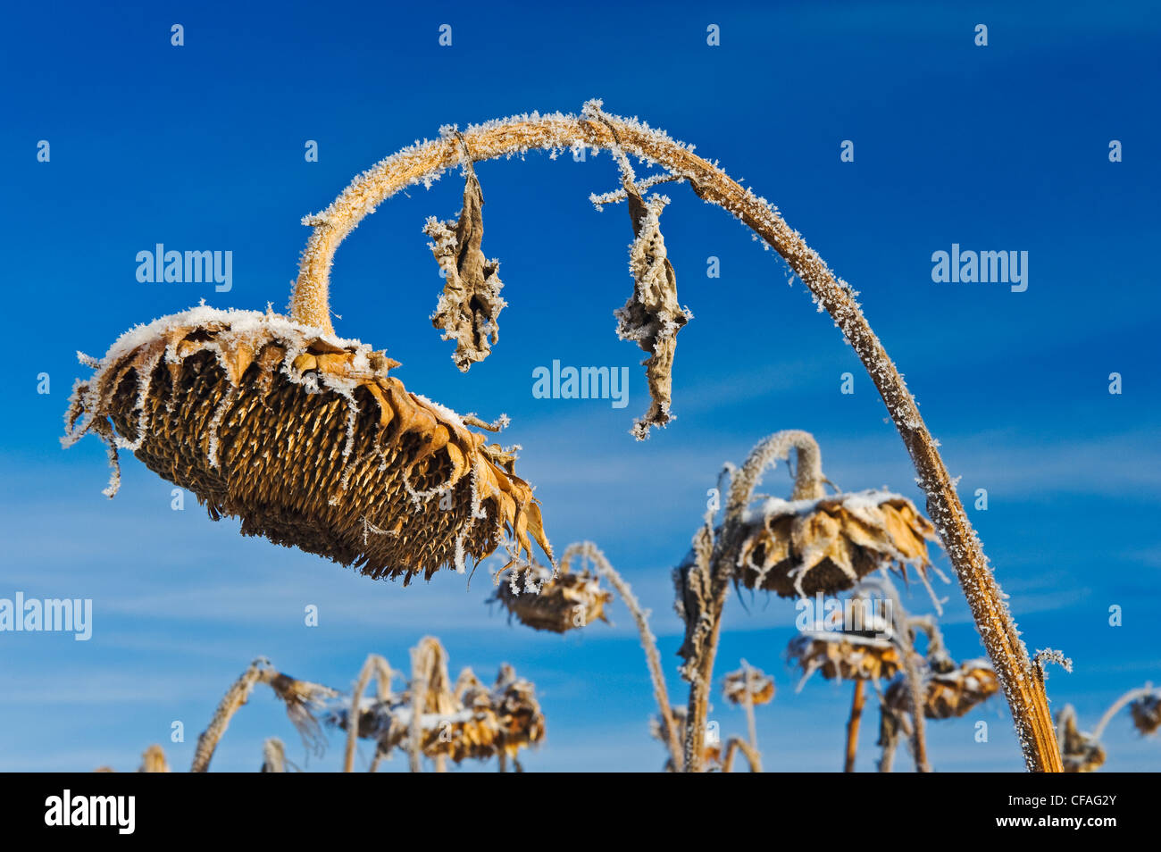 close-up of sunflower head with frost on it, near Beausejour Manitoba, Canada Stock Photo