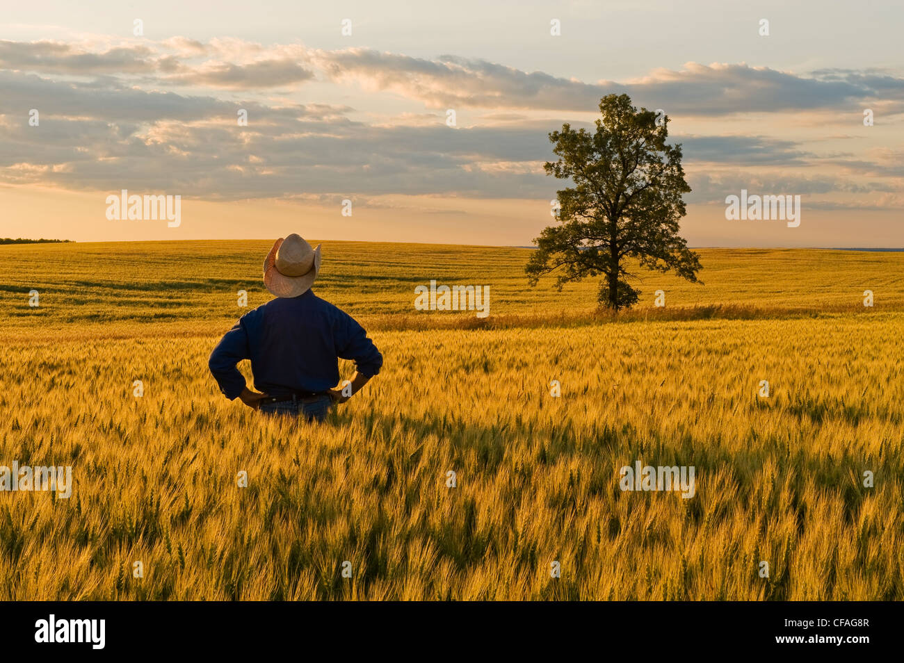 a man looks out over a field of maturing wheat near Holland, Manitoba, Canada - Stock Image