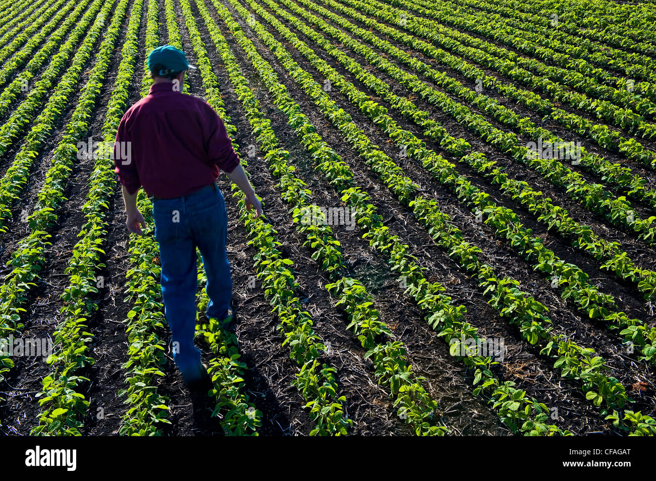 a farmer scouts his early growth soybean field near Lorette, Manitoba, Canada - Stock Image