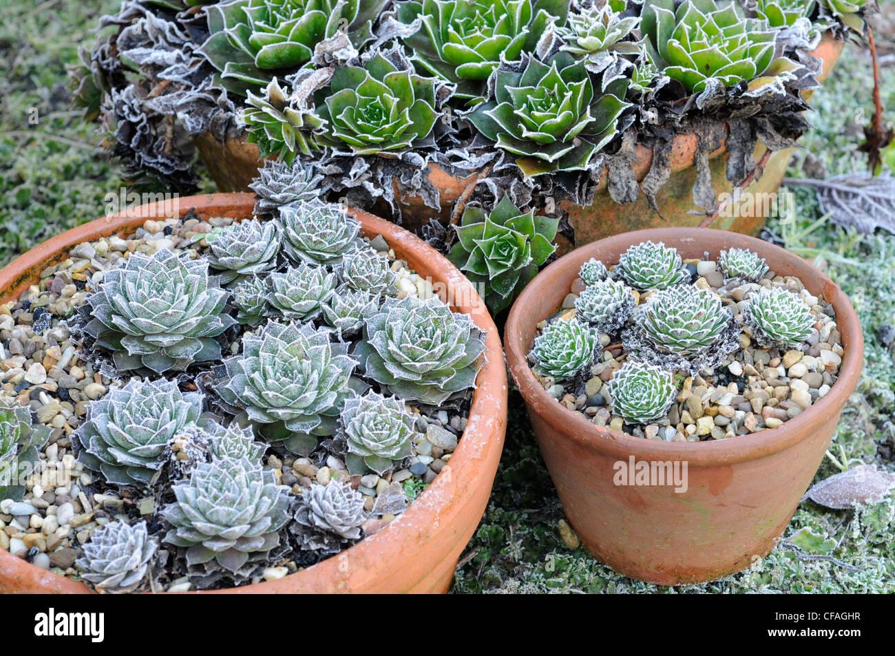Frost Garden Pots Frost garden pots stock photos frost garden pots stock images alamy frosty garden with plants in pots including sempervivums uk december stock image workwithnaturefo