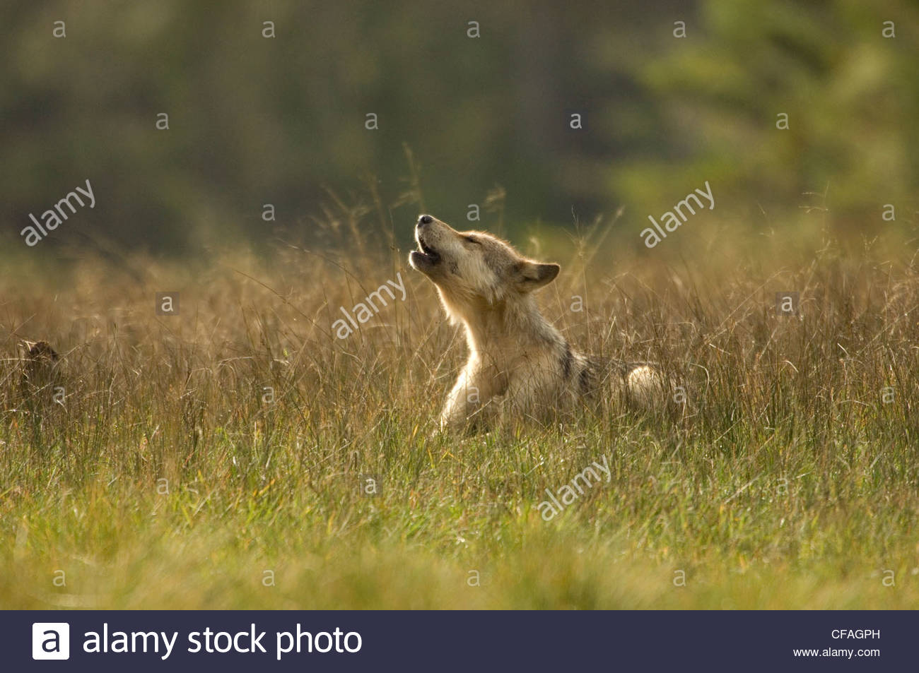 Wolf puppy howling, Great Bear Rainforest, British Columbia, Canada. - Stock Image