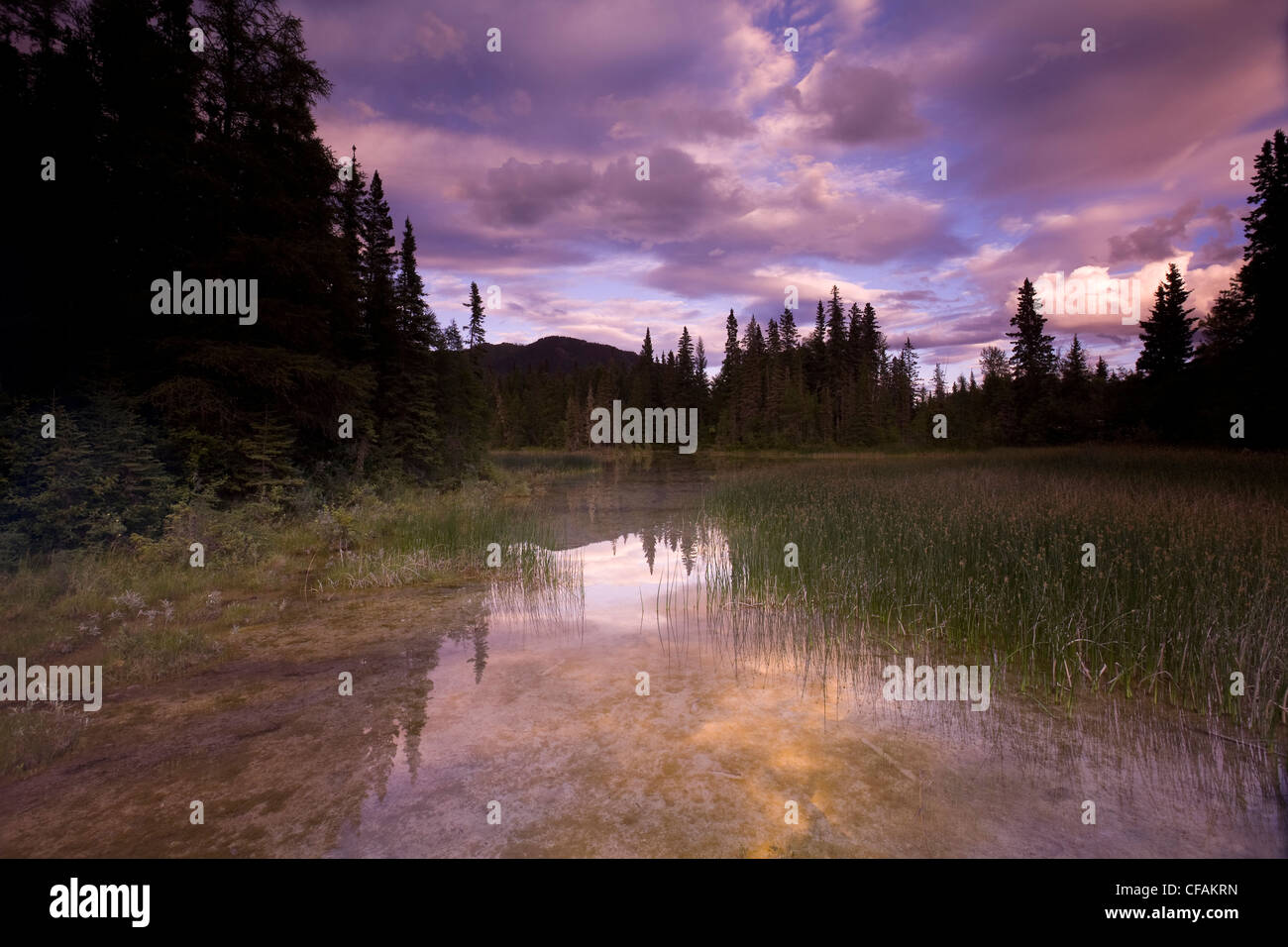 Warm water swamp and boreal forest near the hot springs, Liard River Hot Springs Provincial Park, British Columbia, - Stock Image
