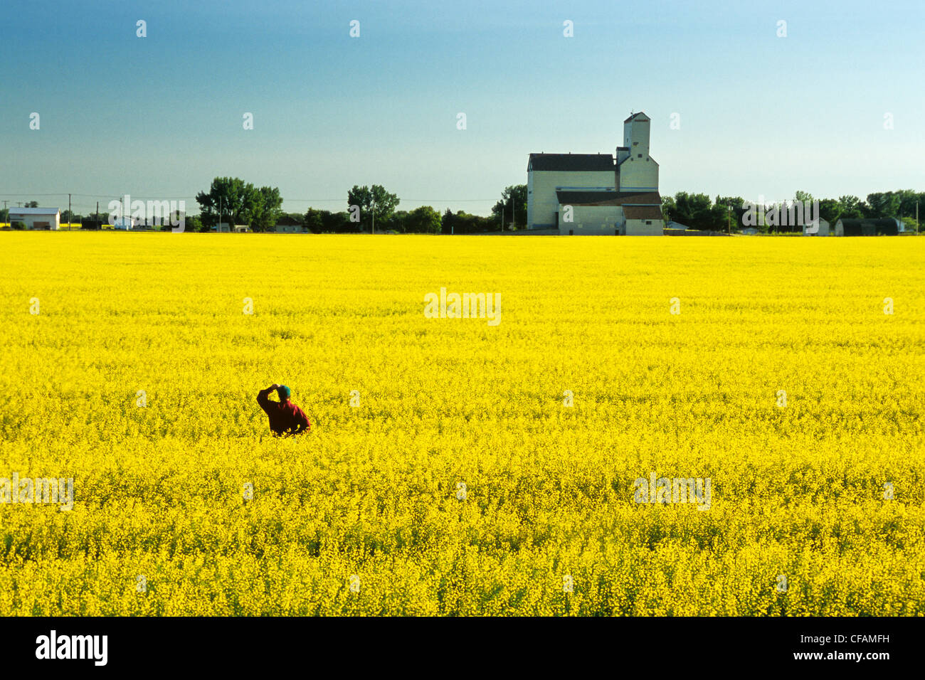man in canola field with grain elevator in the background, Kane, Manitoba, Canada - Stock Image