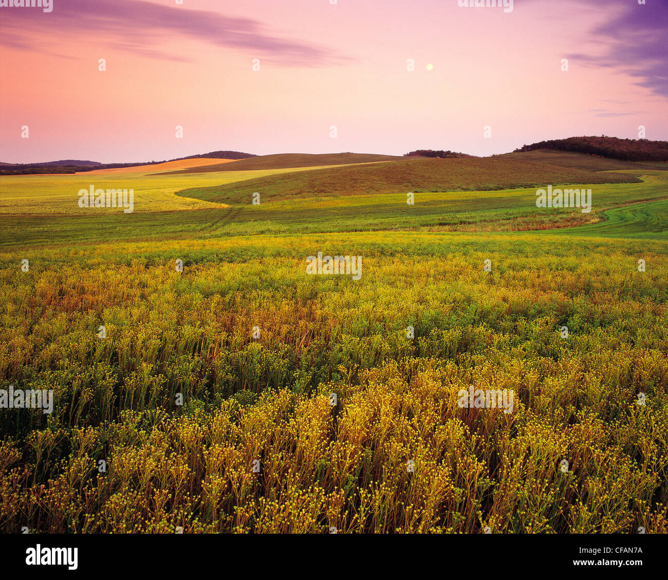 Flax field with other crop patterns in the background, Tiger Hills near Holland, Manitoba, Canada - Stock Image