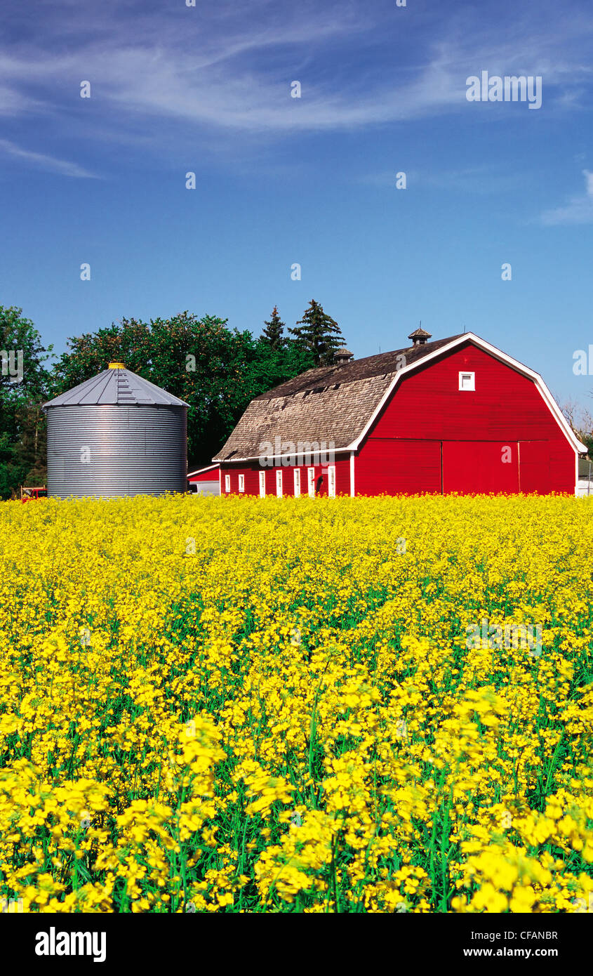 Blooming canola field with red barn and grain bin in the background near Winnipeg, Manitoba, Canada - Stock Image