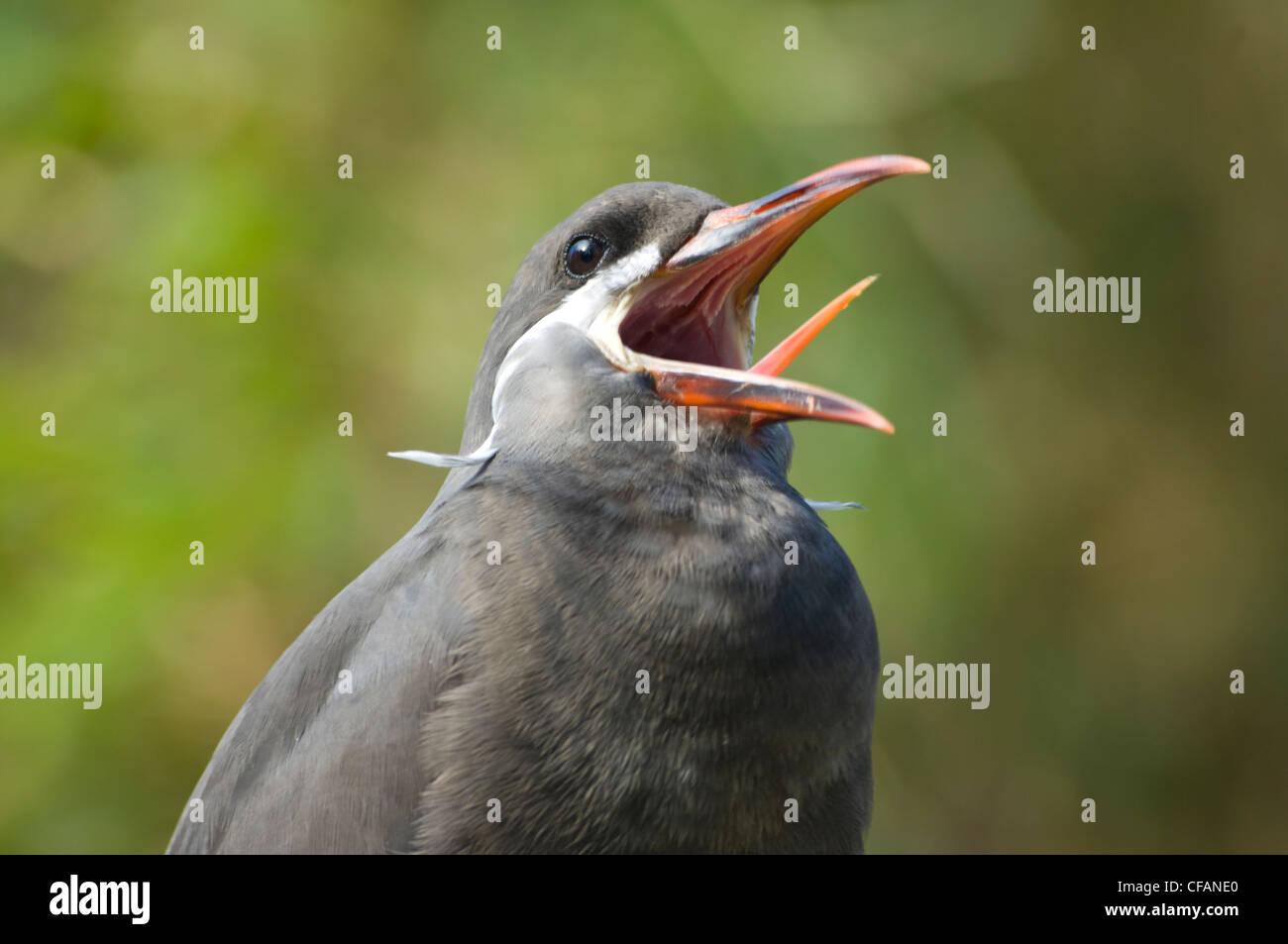 Inca Tern (Larosterna inca) Captive Stock Photo