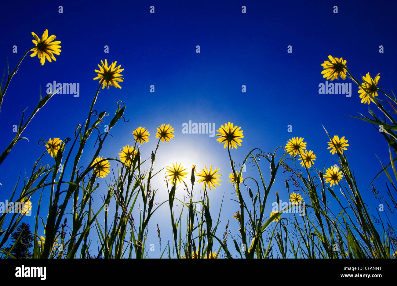 Yellow salsify reaching for the sun in Junction Sheep Range Provincial Park in the grasslands of British Columbia, - Stock Image
