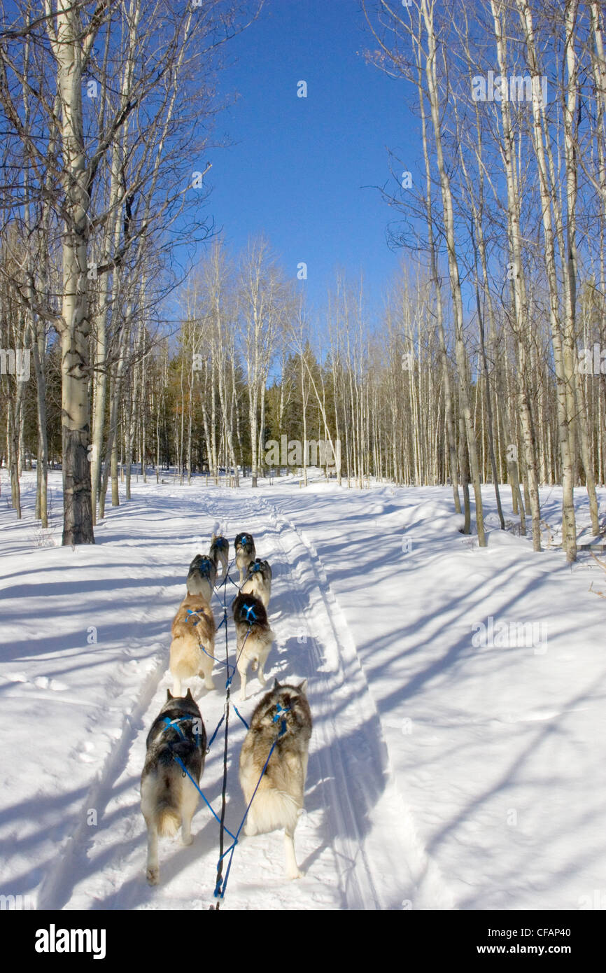 Dogsledding in the Cariboo region of British Columbia, Canada - Stock Image